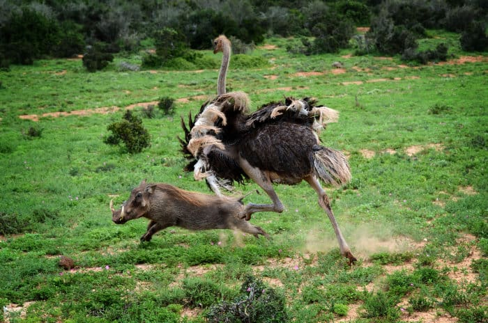 Ostrich chases warthog in Addo Elephant National Park, South Africa