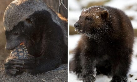 Honey badger vs wolverine: who would win?